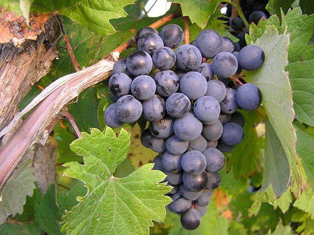 Piccolo Mondo : Refosco dal Peduncolo Rosso - I vitigni italiani
