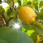 Lemon Freshness: 12 Household Uses for Lemons