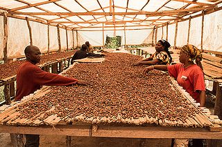 Fermented cacao beans are dried in the sun for several days on big wooden mats like these.