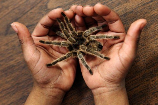 A Tennessee second-grader cradles a tarantula. This type of spider has been known to eat bats. A new study shows incidences of spiders devouring bats may be greater than previously thought. (Kyle Kurlick / The Commercial Appeal/Associated Press)
