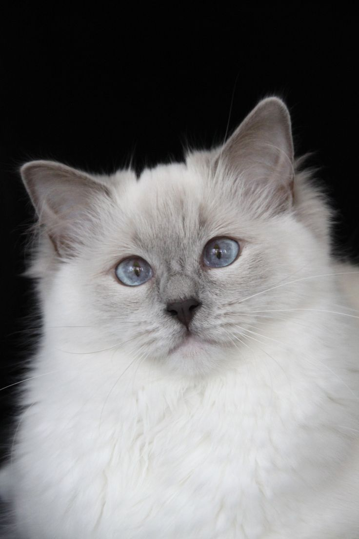 17 best images about ragdoll kittens