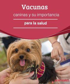 Vacunas caninas y su importancia para la salud  Conoce la importancia que tiene para la salud de tu mascota la aplicación de la vacunas caninas. Consulta con el veterinario el calendario de vacunación. #vacunas #importantes #salud #mascota