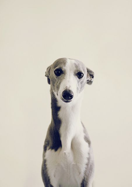 Frankie whippet another for you @Patricia Cardoso