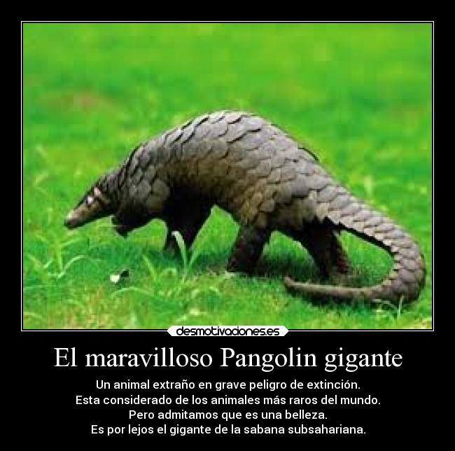 El maravilloso Pangolin gigante - Un animal extraño en grave peligro de extinción. Esta considerado de los animales más raros del mundo. Pero admitamos que es una belleza. Es por lejos el gigante de la sabana subsahariana.