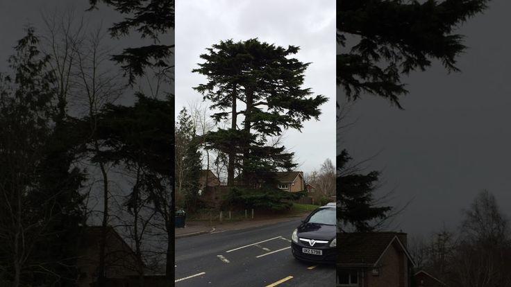 Deodar cedar (Cedrus deodara) - tree - December 2017