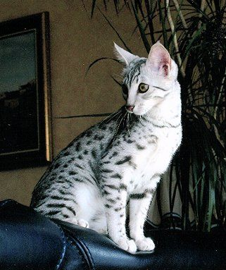 Egyptian Mau (By Christian Stogner Photography)