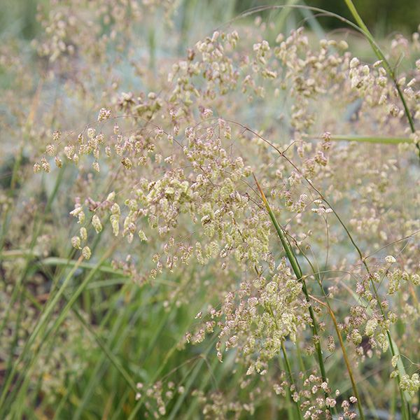 Buy common quaking grass Briza media: Delivery by Crocus