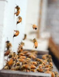 Bee hives overfilled with honey or pollen indicate a bee colony that's outgrown its hive. Use this advice to prevent a swarm and keep the honey flowing. Photo by Rachael Brugger (HobbyFarms.com)