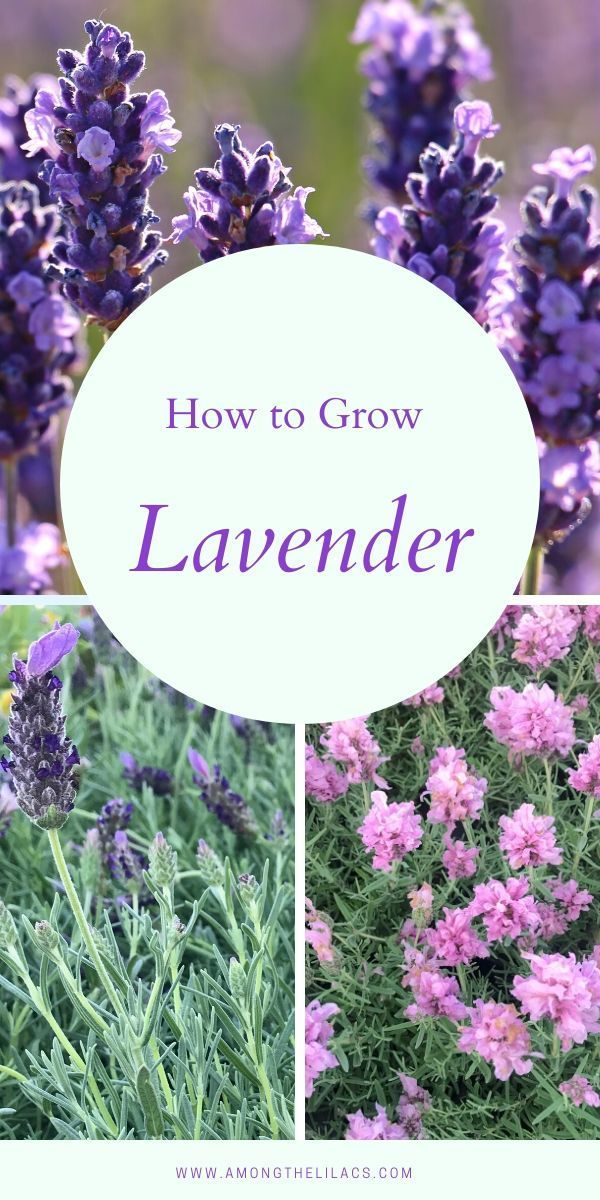How To Grow Lavender In 2020 Perennials Low Maintenance Growing