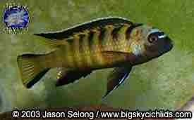 17 Best Images About Malawi Cichlids On Pinterest Lakes
