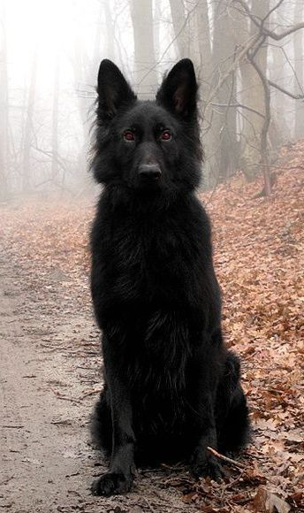 Beautiful black German shepherd More