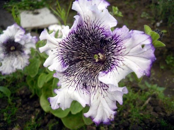 Для вегетативного размножения осенью необходимо отобрать здоровые, хорошо развитые маточные растения