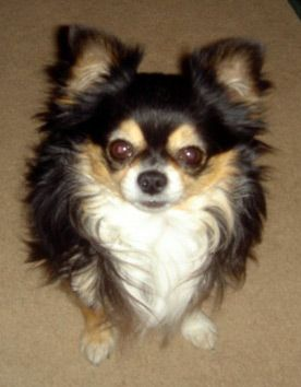 chihuahua guys Chihuahua information including pictures, training, behavior, and care of chihuahuas and dog breed mixes.