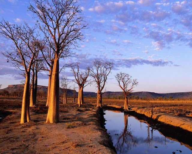 Prison Trees on Kimberley Plateau. | Most Beautiful Pages