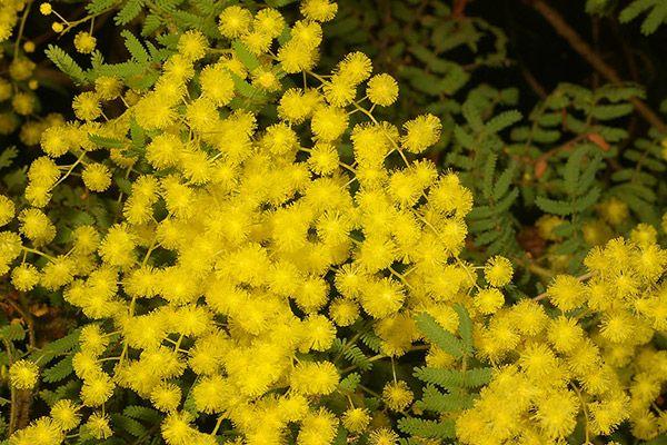 Acacia pubescens