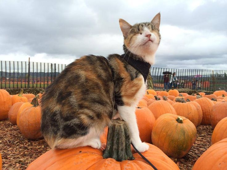 Honey Bee, the blind cat from Fiji (previously), celebrates her very first Halloween with a visit to a local pumpkin patch to pick out a pumpkin that she and her humans can bring home. Perhaps she ...
