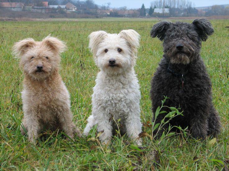 pumi / pumi, Hungarian or magyar terrier