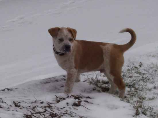 Name:    	Ottis  Breed: 	Pit Heeler  Gender:	Male  Born:  	9/30/2010  From:  	Venetia, PA (US)  Posted:	2/28/2011  Rating:	--