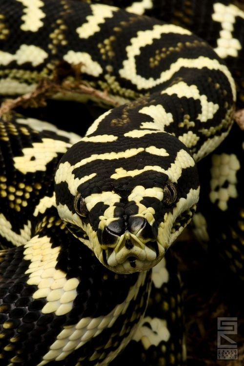 """Diamond Jungle Jaguar Sibling, a carpet python"" by Craig Leach"