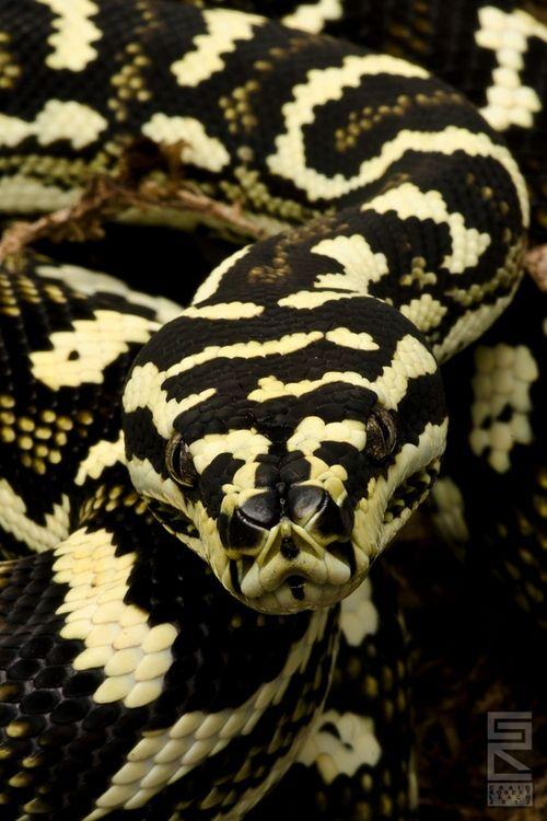 "Diamond Jungle Jaguar - a carpet python"""