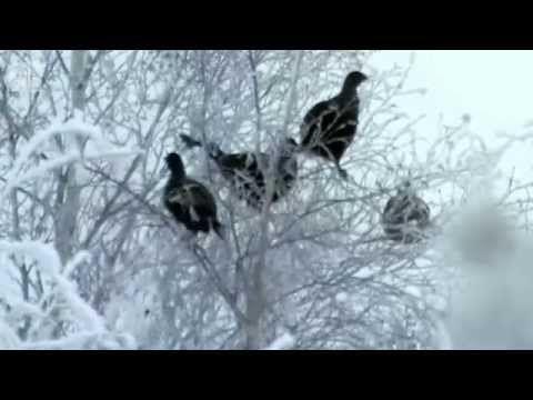 Tarinoita metsästä : metso ja teeri - YouTube