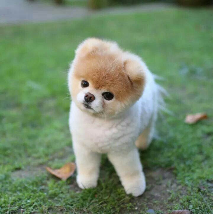 Amazing Pomeranian Brown Adorable Dog - e2c3b67ca76ff82e70b591cc3fa24e4e--world-cutest-dog-cutest-dogs  2018_292085  .jpg