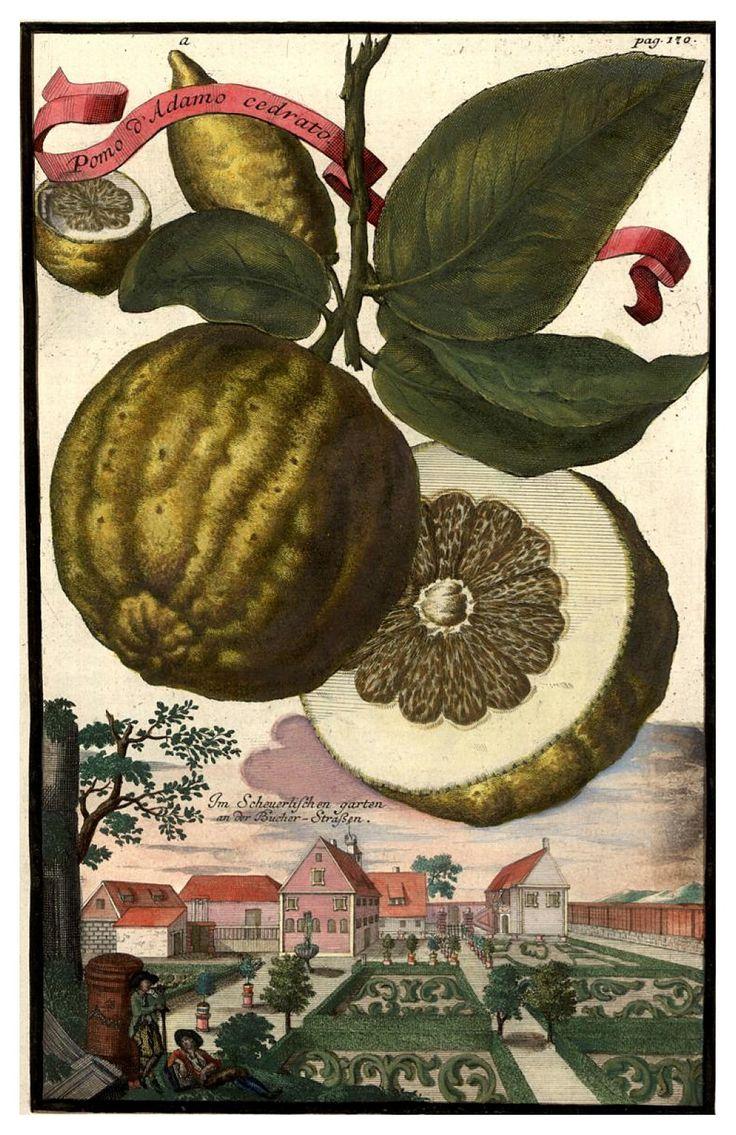 Nürnbergische Hesperides 1708-1714. Universitäts- und Landesbibliothek Sachsen-Anhalt. Antique botanical illustration.