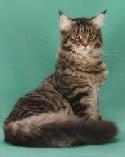 #MaineCoon #Black #Mackerel #Tabby #Cats