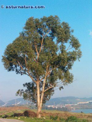 Eucalyptus globulus, Eucalipto. Árbol de hasta 45 - 75 m de altura. El tronco, derecho, puede alcanzar los 2 m de diámetro y tendente a la torsión helicoidal, tiene la...