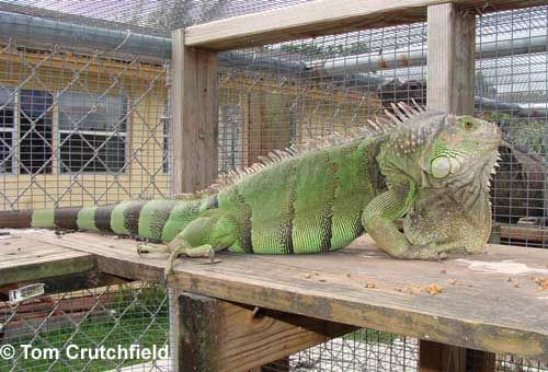 caring for a green iguana