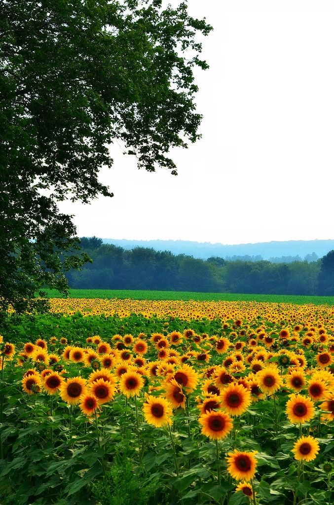 ...a field of sunflowers.. I'd be the happiest girl alive