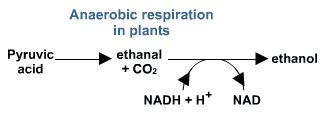 Anaerobic respiration in plants