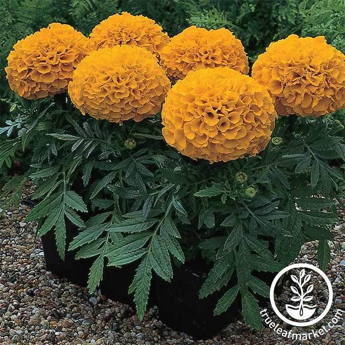 2000 African Marigold Seeds Crackerjack Mix by Seeds2Go