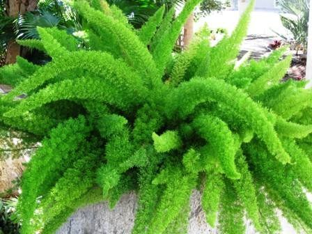 'Myers' Asparagus Fern - Foxtail fern - Evergreen and easy care plant - Great for growing in planters and baskets - Stunning symmetrical look - Spring flowering and autumn berries provide year round interest - Delicate and soft needle style leaves - Easy care plant - An unusual yet wonderful plant for gardens, containers and hanging planters. Best4garden http://www.amazon.co.uk/dp/B00W7WP2P2/ref=cm_sw_r_pi_dp_oXrmvb0H0ZPY2