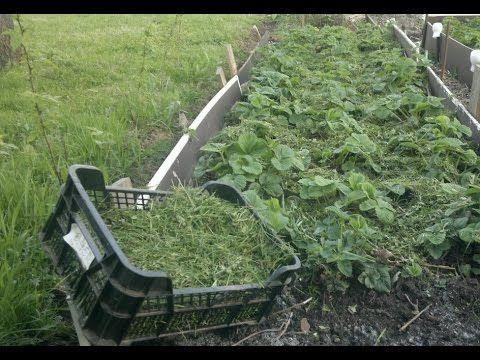 Земляника садовая,мульчируем газонной травой .
