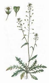 Kokoška - Capsella