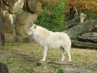Lobo-ártico, lobo-polar ou lobo-branco (Canis lupus arctos) é uma sub-espécie de lobo-cinzento nativa do Canadá e da Groenlândia.