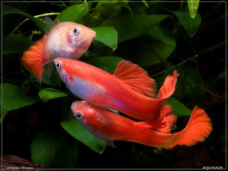 11941 best diy wildlife control images on pinterest for Guppy fish care