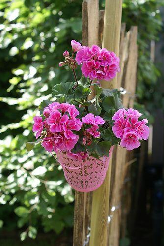 pretty in pink: Colour, The Colors Of Geraniums, Pink Garden, Geranios Geraniums, Color Splash, Flowers, Flowers Garden, Gardens Plants Flowers