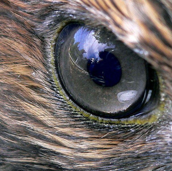 eye - red-tailed hawk