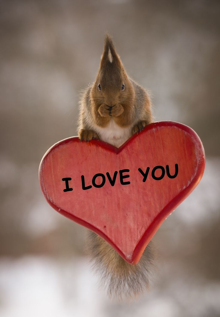 red squirrel on a I love you heart - red squirrel on an I love you heart