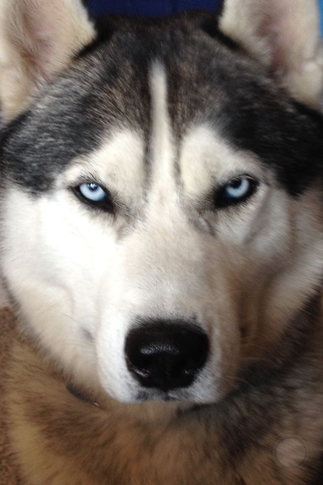 disappointed husky - photo #29