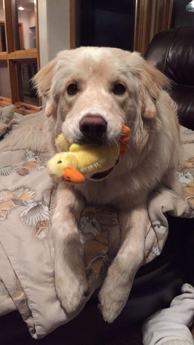 Quack Quack goes SVEN
