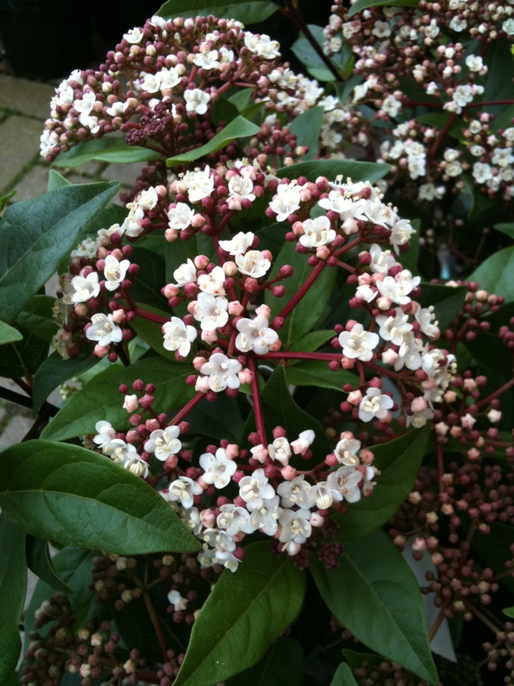 viburnum tinus position full sun or partial shade soil moderately fertile moist well drained. Black Bedroom Furniture Sets. Home Design Ideas