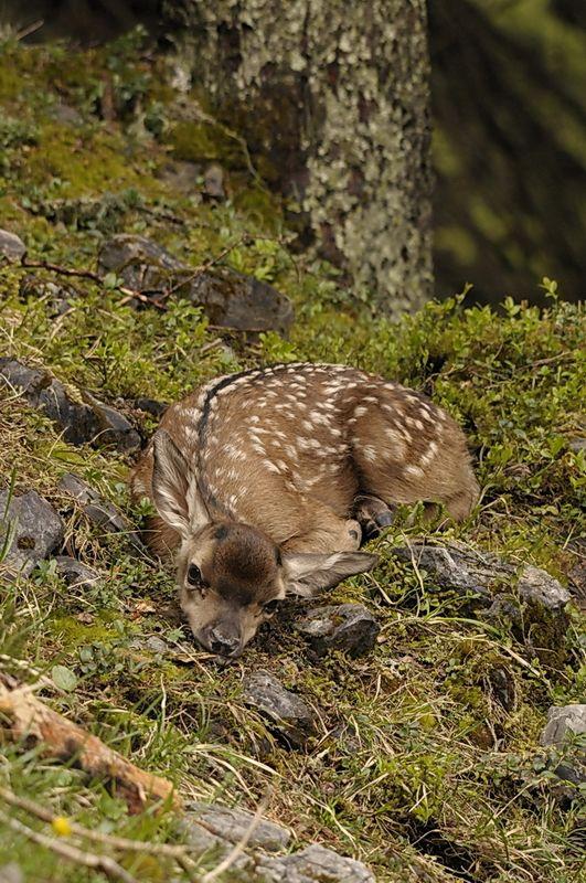 Fawn on tɦҽ Forҽsƭ Floor - Baby Deer