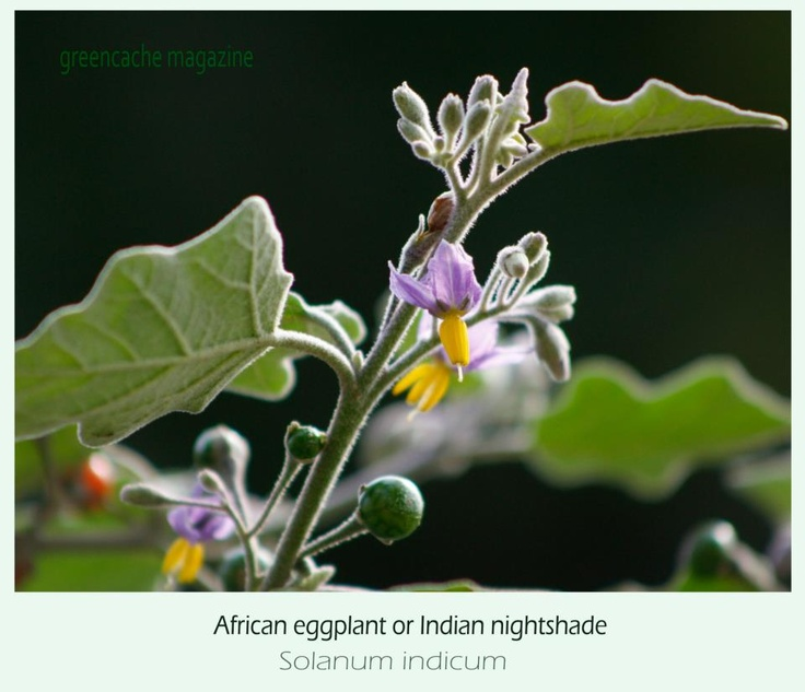 Solanum Plant Chemicals Properties