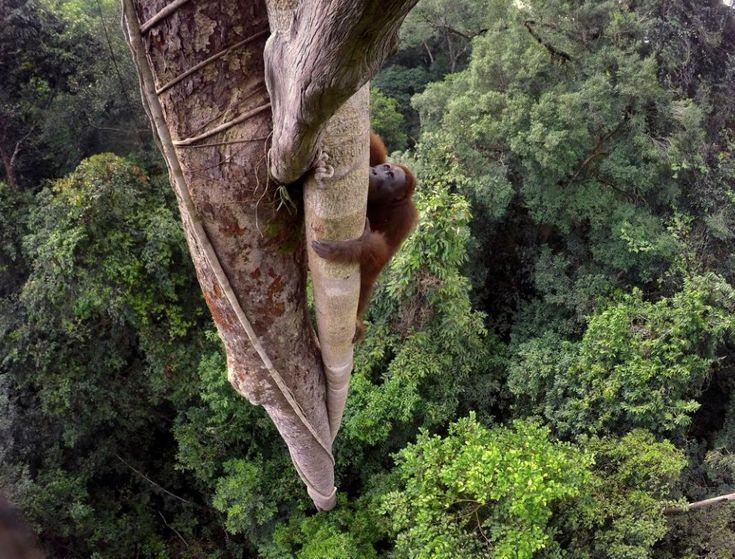 Tim Laman, USA, 2015, Tough Times for Orangutans    Orangutan borneański wspina się na ponad 30-metrowe drzewo w Lesie Tropikalnym w Gunung Palung National Park w Indonezji. Zdjęcie zdobyło 1. Nagrodę w kategorii Nature. Wykonano je 12 sierpnia 2015.