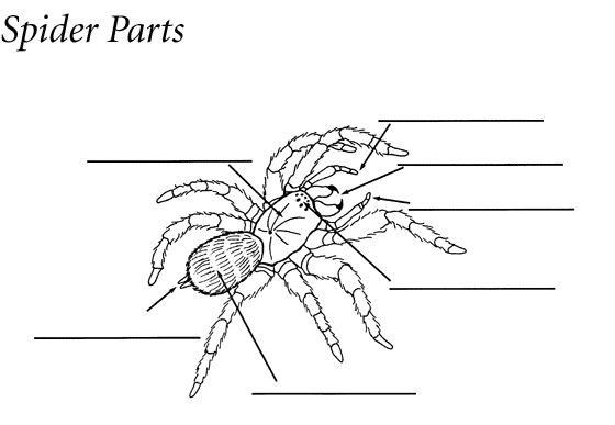 Label a spider | Parts of a spider, Common core science ...