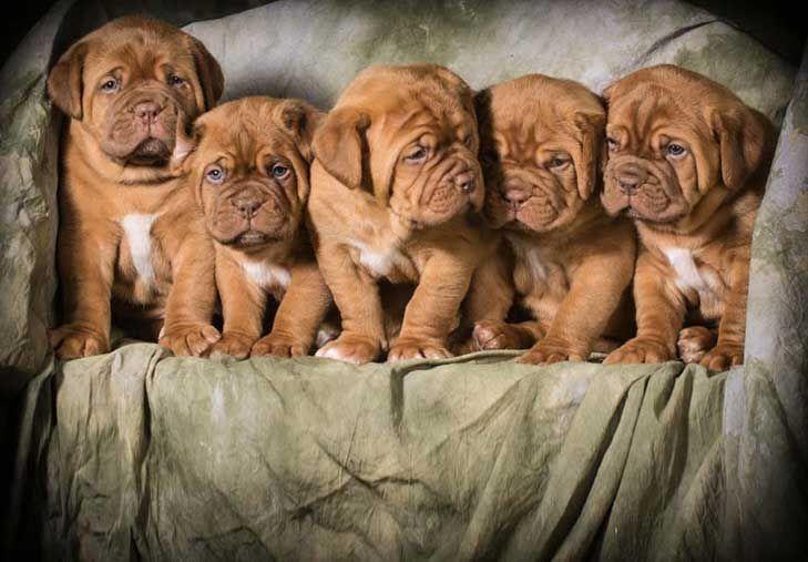 Dogue De Bordeaux Dog Breed Information Bordeaux Dog French Mastiff Puppies Dogue De Bordeaux