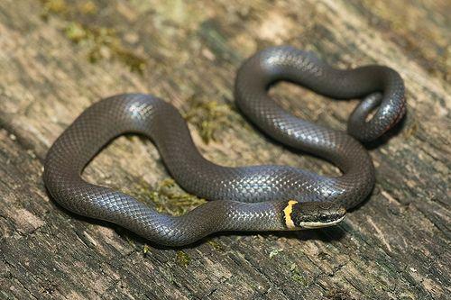 Ring Necked Snake By Kaptainkory Via Flickr Birds